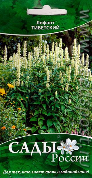 Лофант тибетский цветов