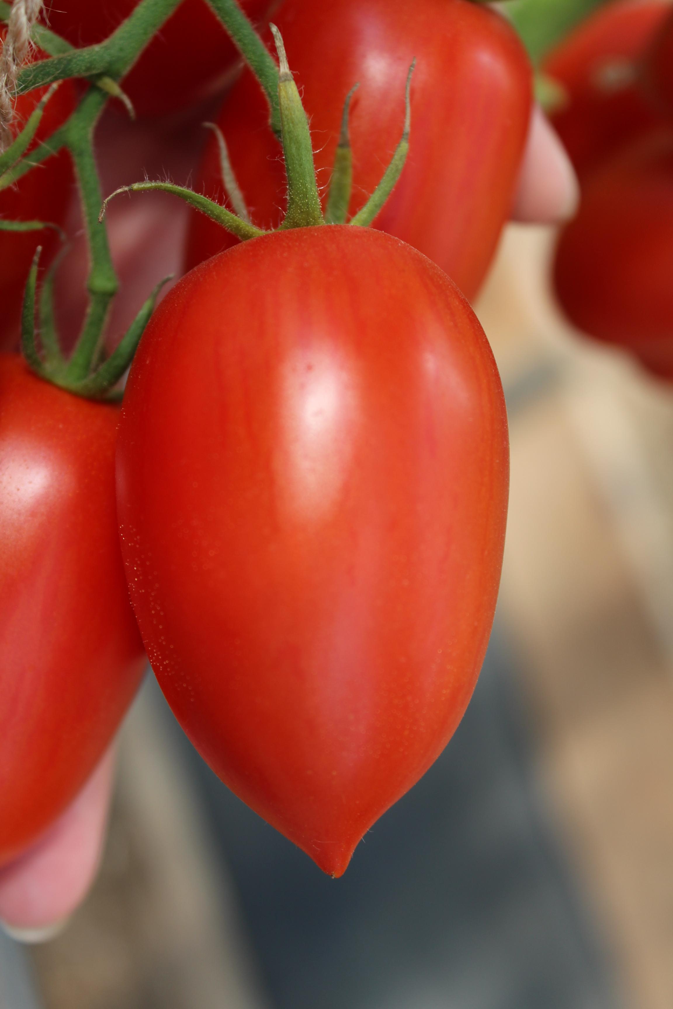 семена томатов фирмы партнер каталог цены